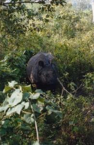 The Chitwan rhino