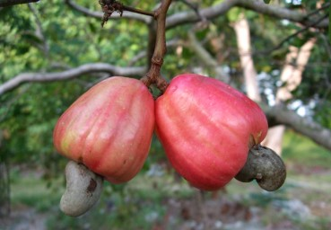 Nature Series – The Cashew