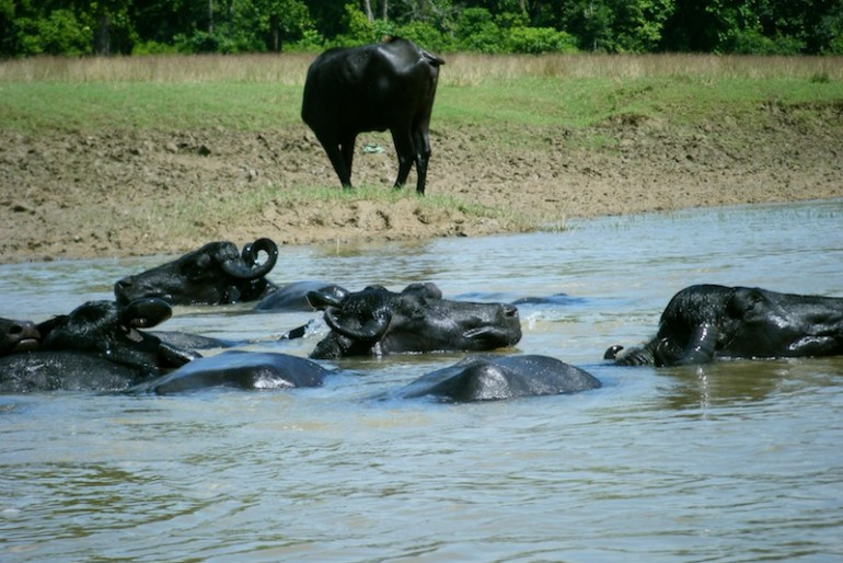 water buffaloes crossing the river