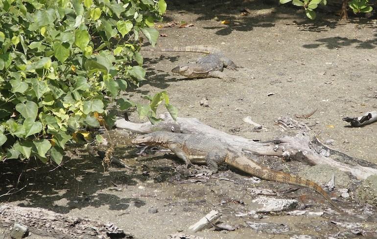 Monitor lizards
