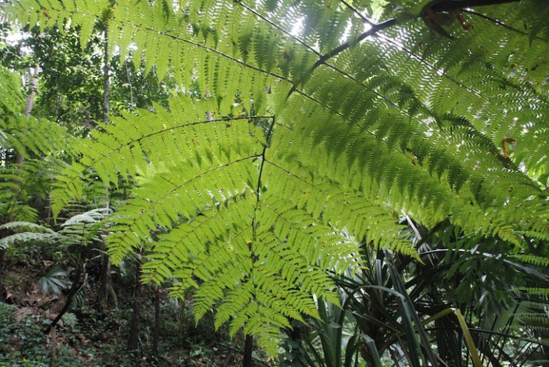 Ferns are a marvel at Tropical Spice Garden