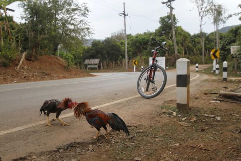 Improvised roadside cock fighting