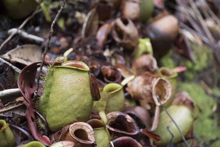 Pitcher Plant-Periuk kera