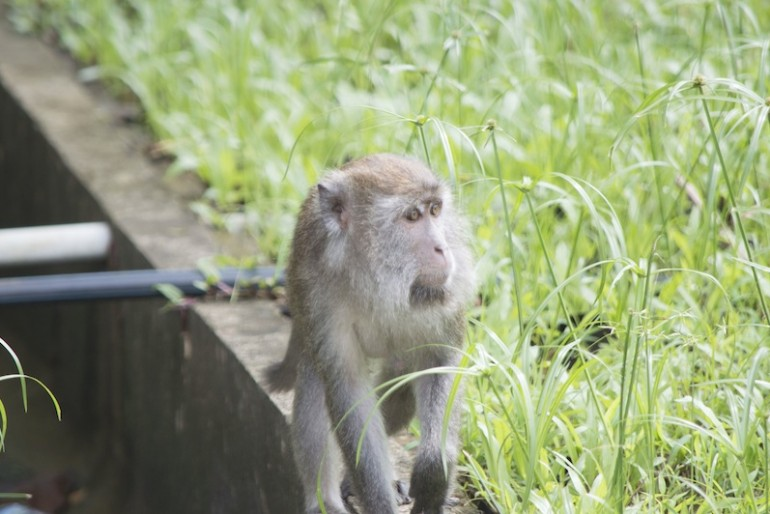 One of the monkeys near the park registration office