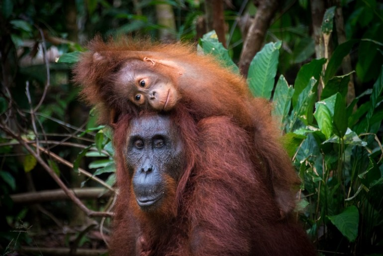 Central Borneo Guide neighbours: the orang-utan