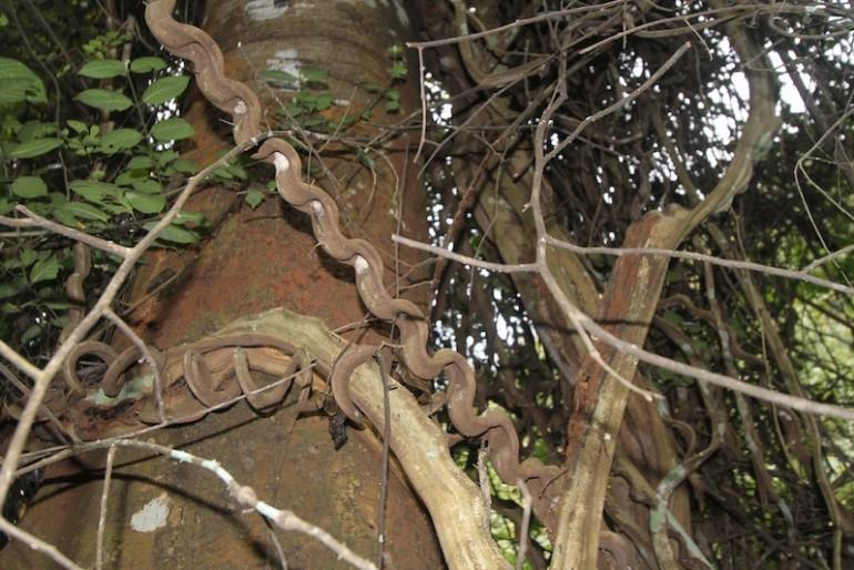 Contorted lianas