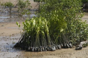 Mangroves replanting ceremony 2016