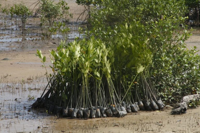 Mangroves seedlings ready to be planted