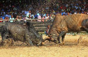 Locking horns at Songkhla bullfighting stadium
