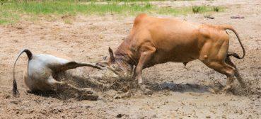 Locking horns in Songkhla bullfighting stadium