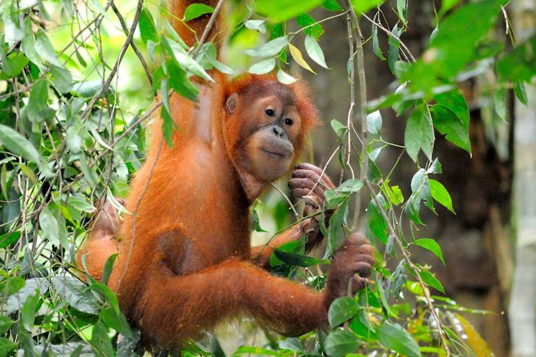 Baby orangutan at Sebangau National Park