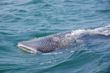 Whale shark tales in Krabi