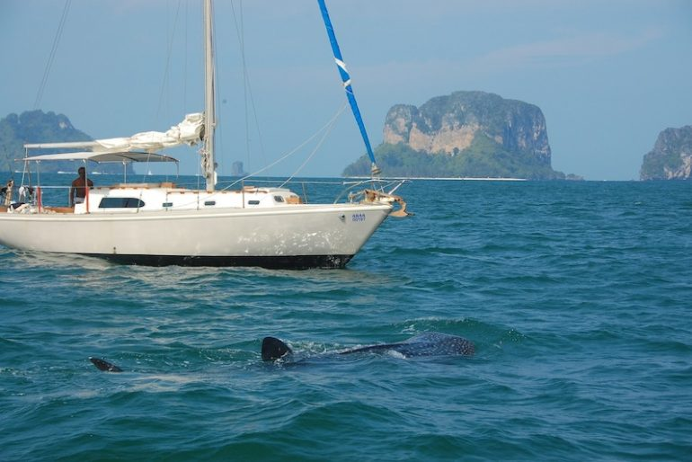 WHale shark swimming near a sailing boat
