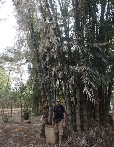 The author under a huge bamboo shrub