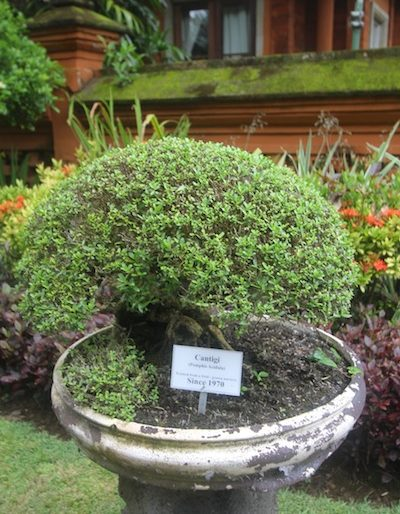 Amazing bonsai dating back 1970