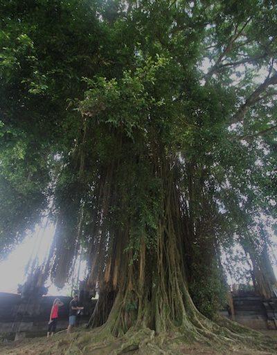 The giant Banyan tree