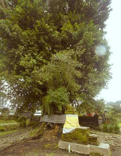 A huge tree inside the temple complex