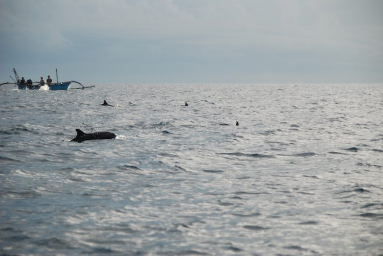 Dolphins off the Lovina coast