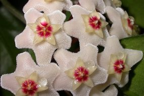 Dok Rak – the Crown Flower