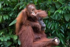 A National Geographic orang utan devotee