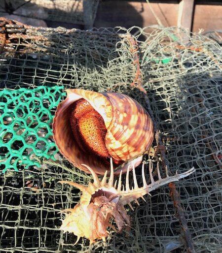 The hermit crab after capture