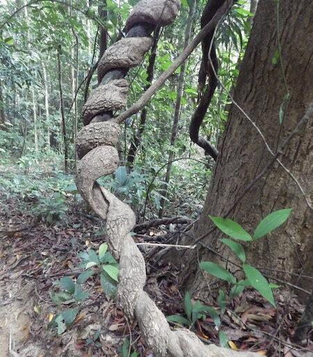 A 20 mt long liana dangling and twisting