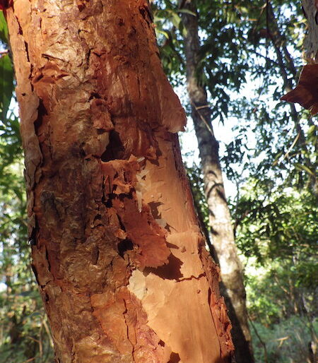 Syzygium Antisepticum, a gorgeous, medium-size tree with a distinctive red trunk and a flaky bark