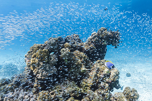 Amazing reefs populated by a variety of fish at Koh Surin